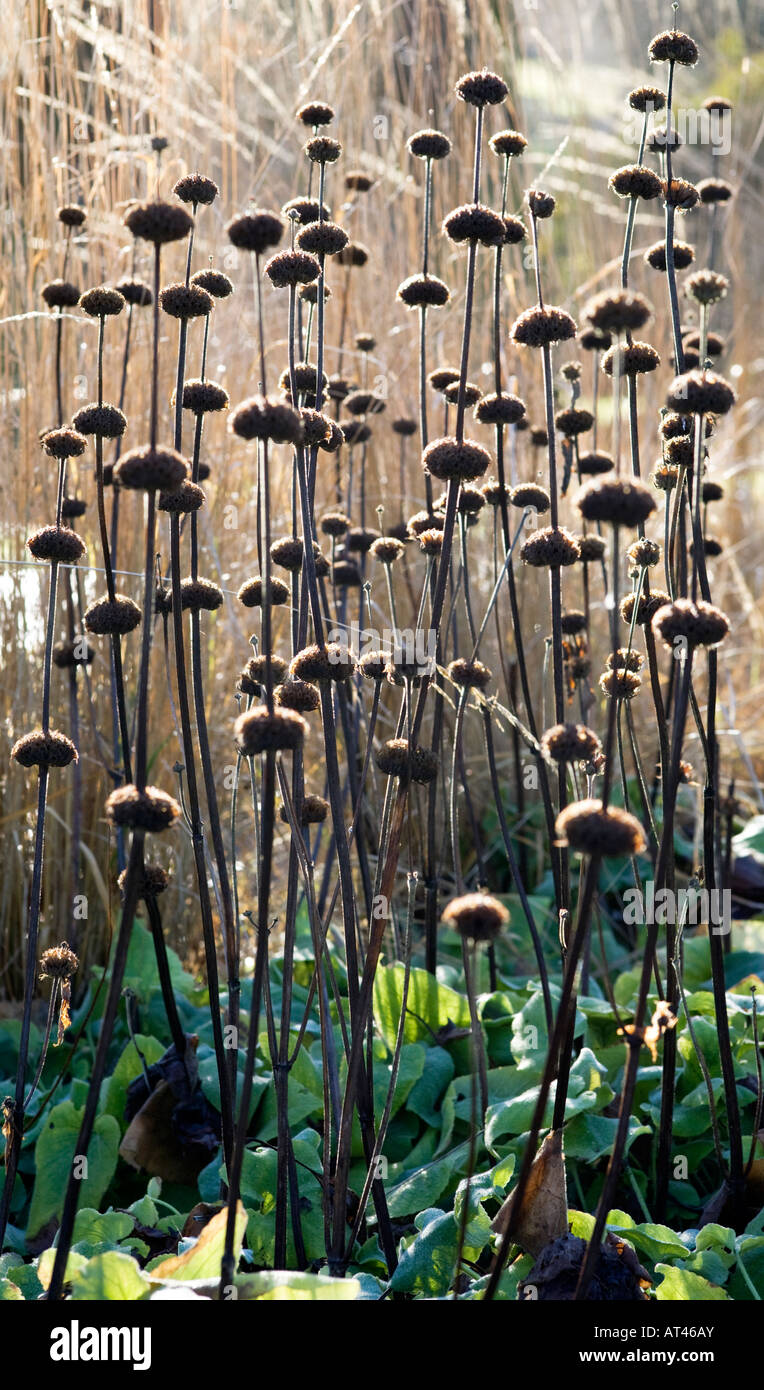 Phlomis Russelianus seedheads - Stock Image