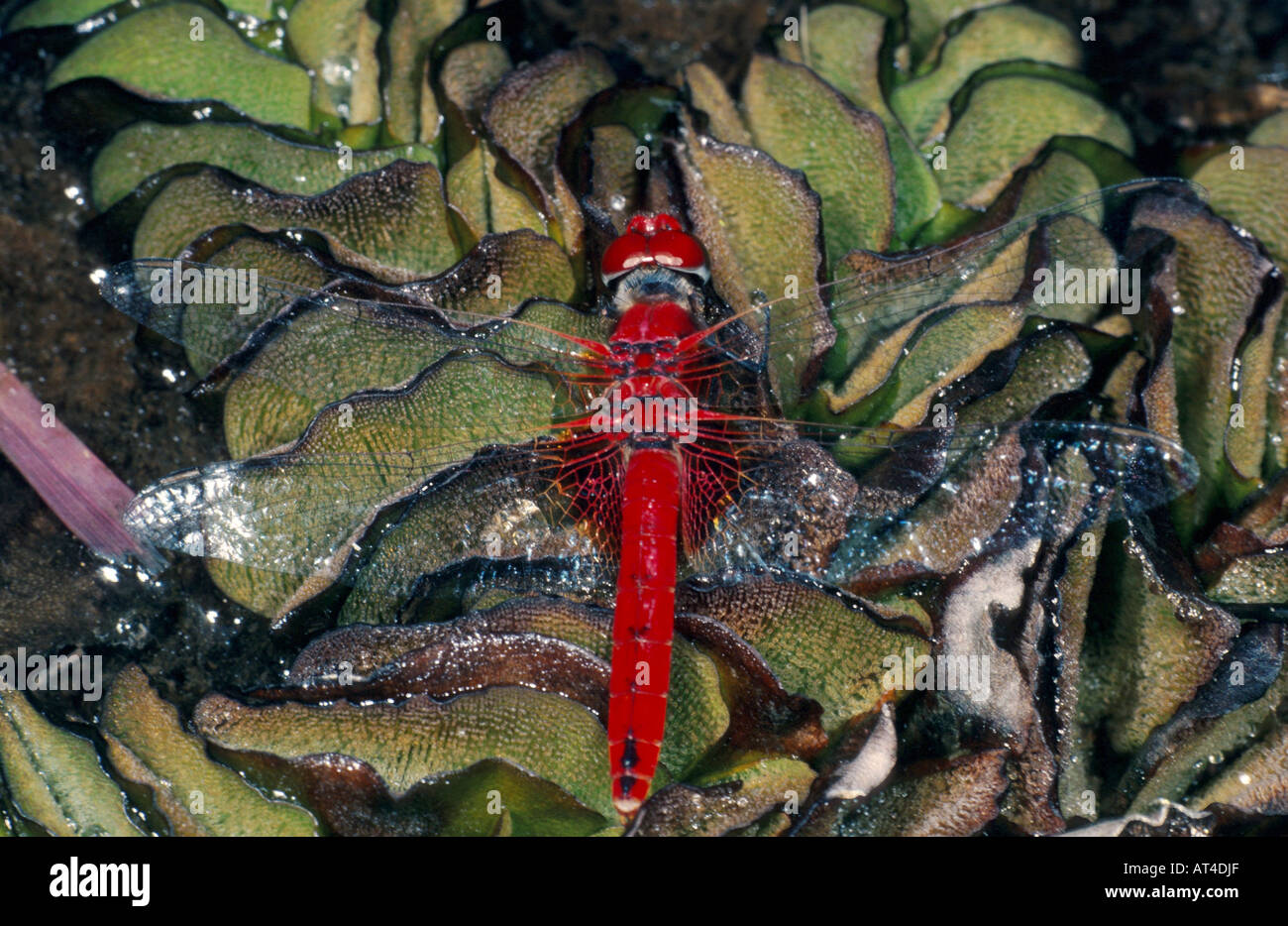 scarlet darter (Crocothemis erythraea), male on water fern, Salvinia Stock Photo