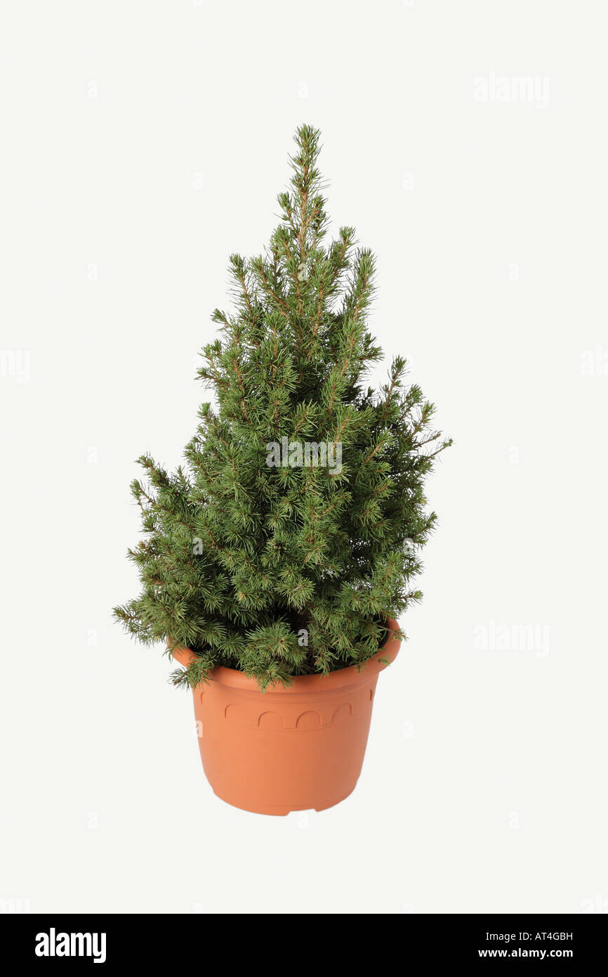 Little conifer in flower pot - unfinished christmas tree - Stock Image