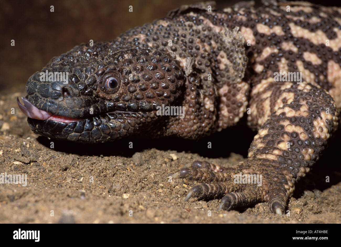 Gila Monster One Of 2 Poisonous Lizards In World USA