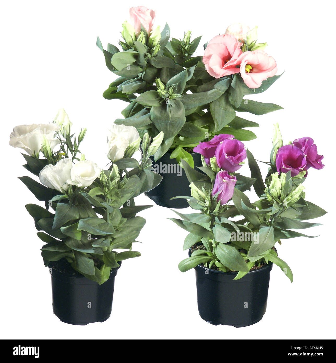 Lisianthus, Tulip Gentian, Texas Bluebell (Eustoma grandiflorum), potted plants, different cultivars - Stock Image