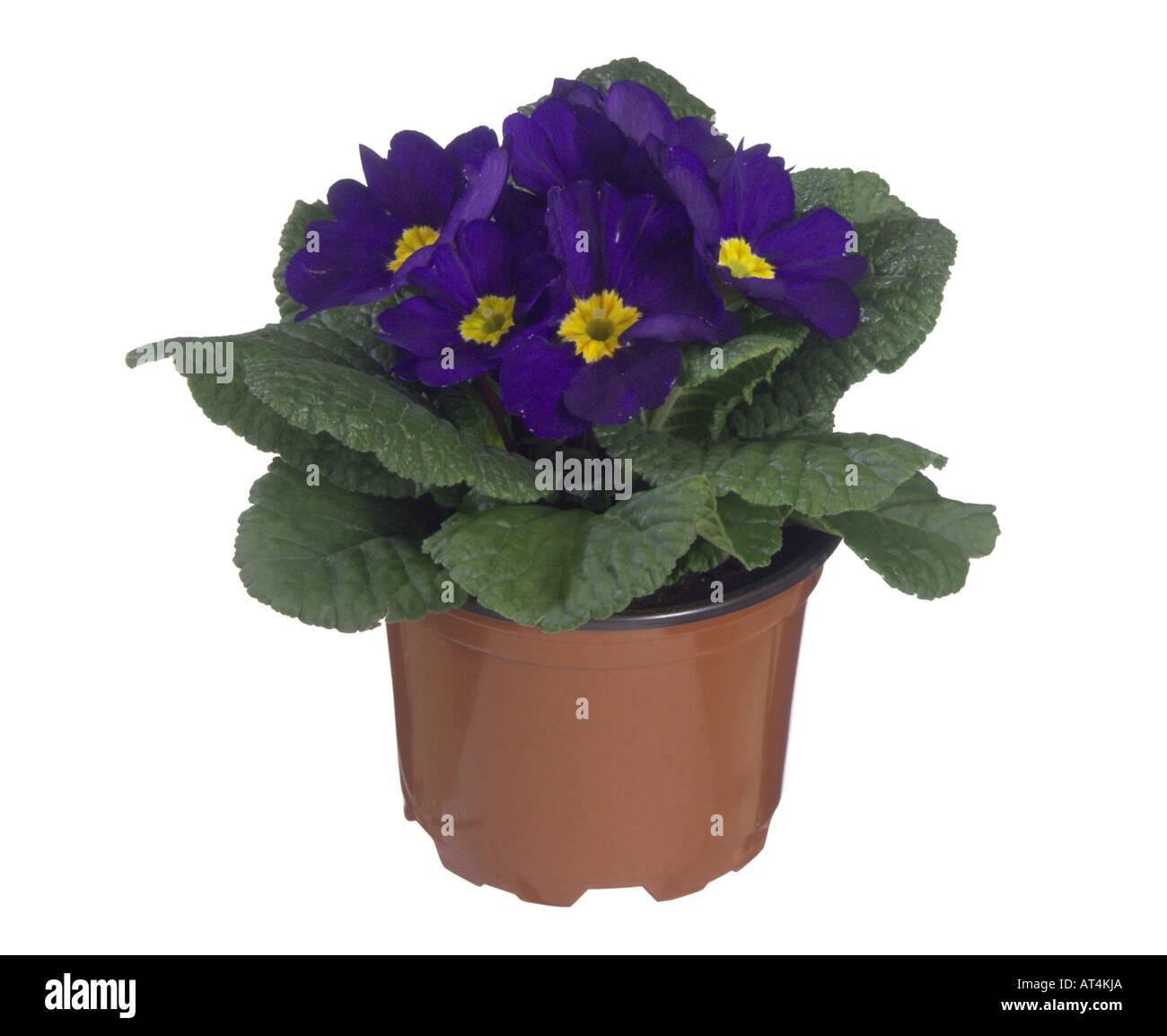 true English primrose (Primula acaulis, Primula vulgaris), potted plant - Stock Image
