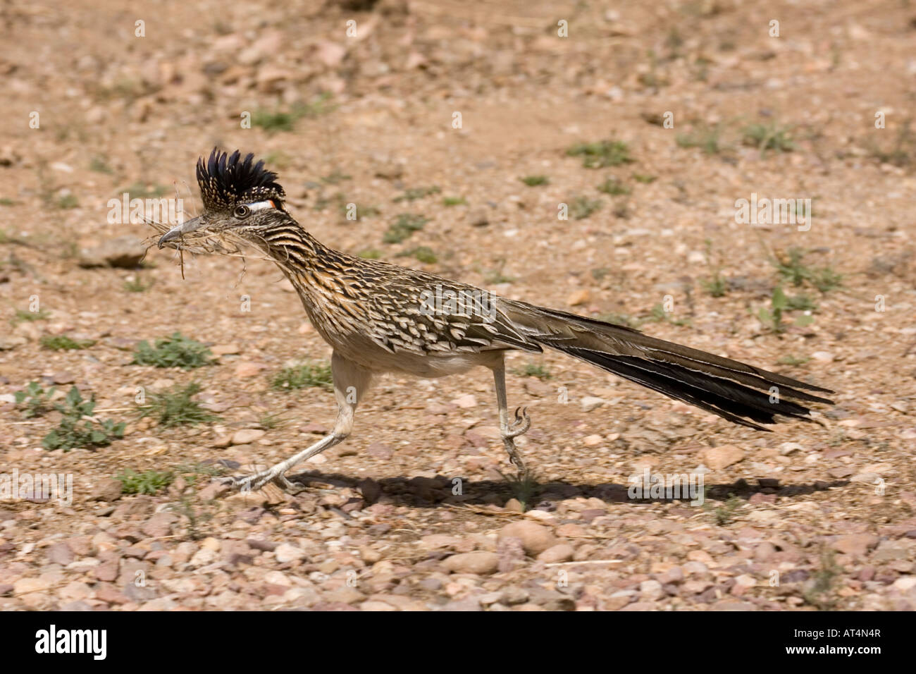 Greater Roadrunner, Geococcyx californianus, with nesting material. - Stock Image