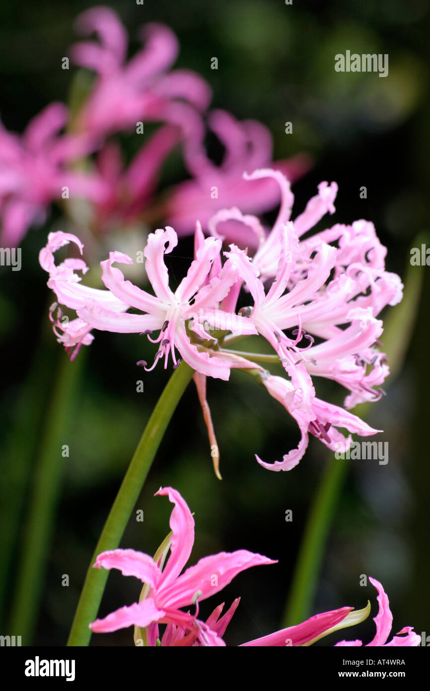 Nerine bowdenii Wellsii blooms in autumn with softer pink flowers than the species shown in forground and background Stock Photo