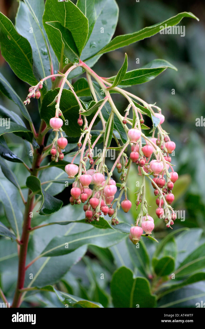 Arbutus Flowers Stock Photos Arbutus Flowers Stock Images Page 3