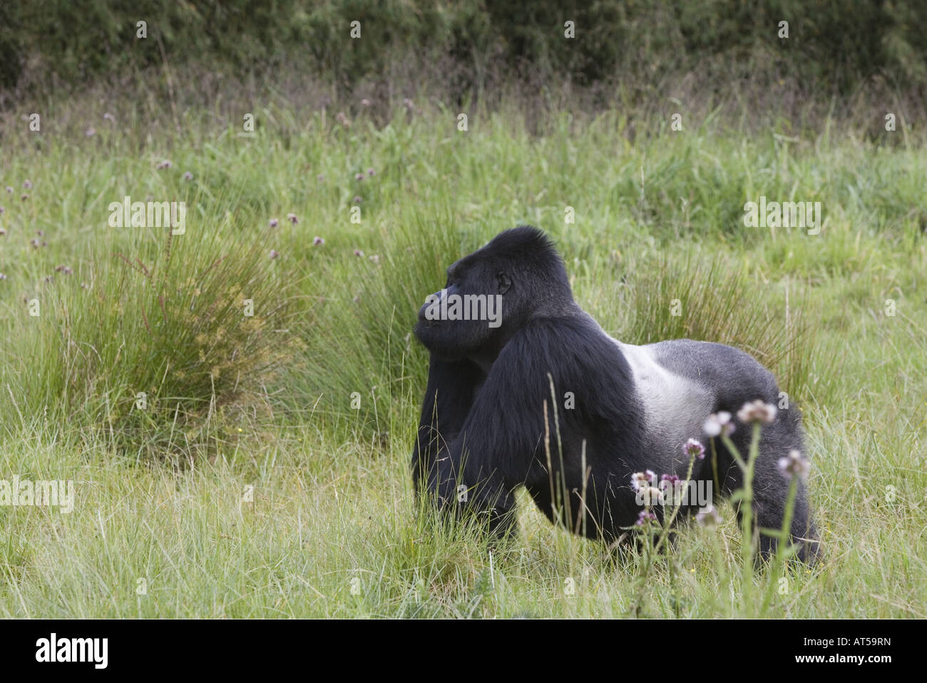 zoology / animals, mammal / mammalian, Hominidae, Mountain Gorilla (Gorilla gorilla beringei), sitting in meadow, - Stock Image