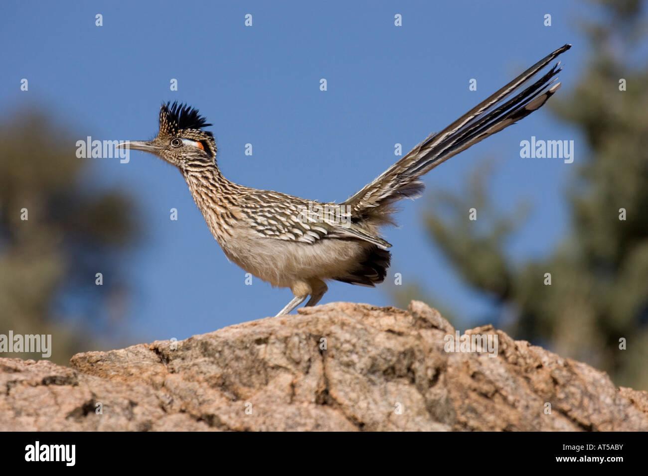 Greater Roadrunner, Geococcyx californianus. - Stock Image