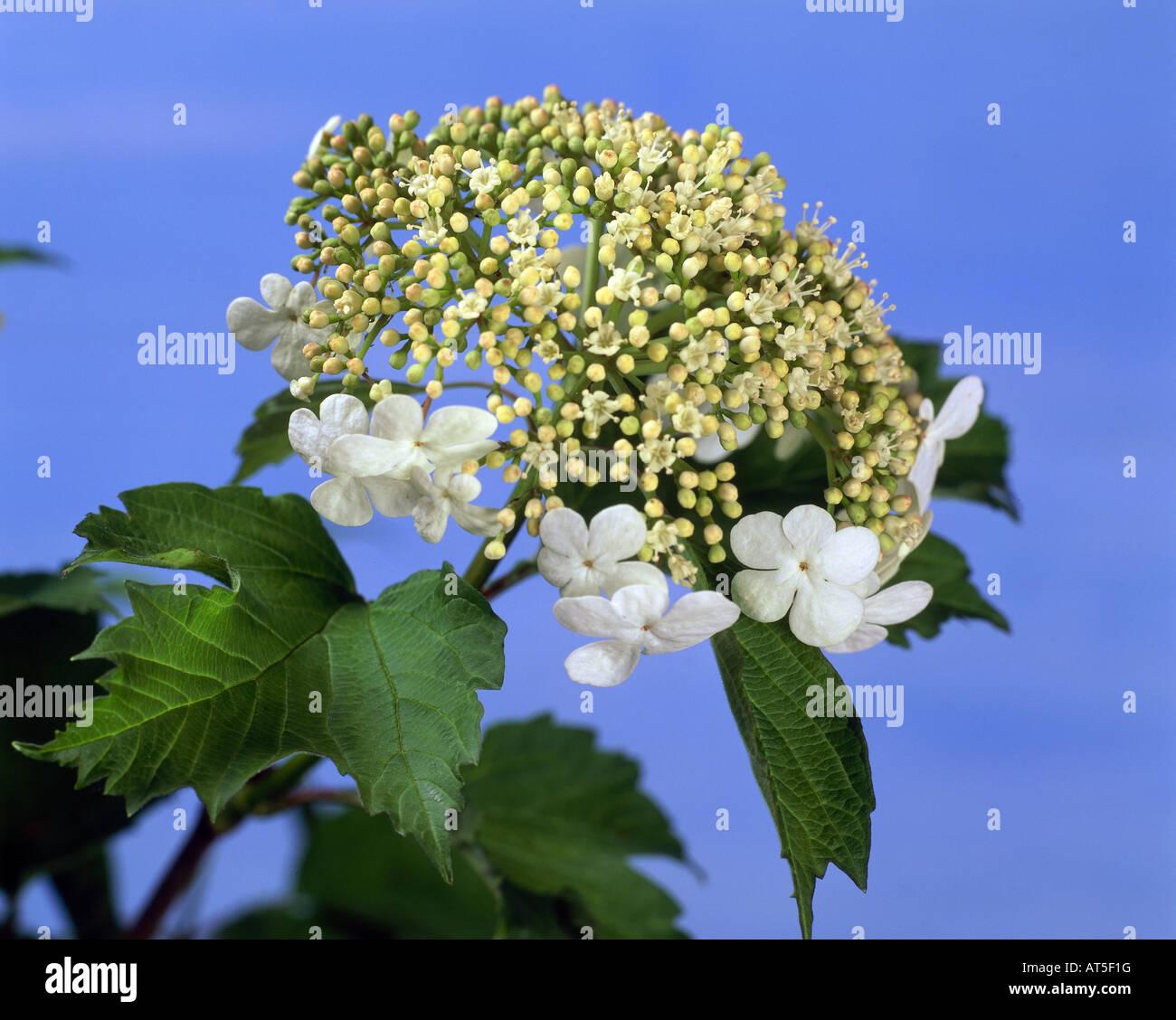 botany, Viburnum, Wayfaring Tree, (Viburnum lantana), blossom, Additional-Rights-Clearance-Info-Not-Available - Stock Image