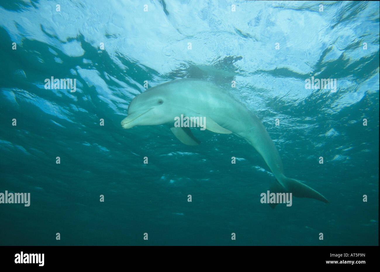 zoology, mammal / mammalian, dolphin (Delphinidae), Grand Bahama, Bahamas, Additional-Rights-Clearance-Info-Not - Stock Image