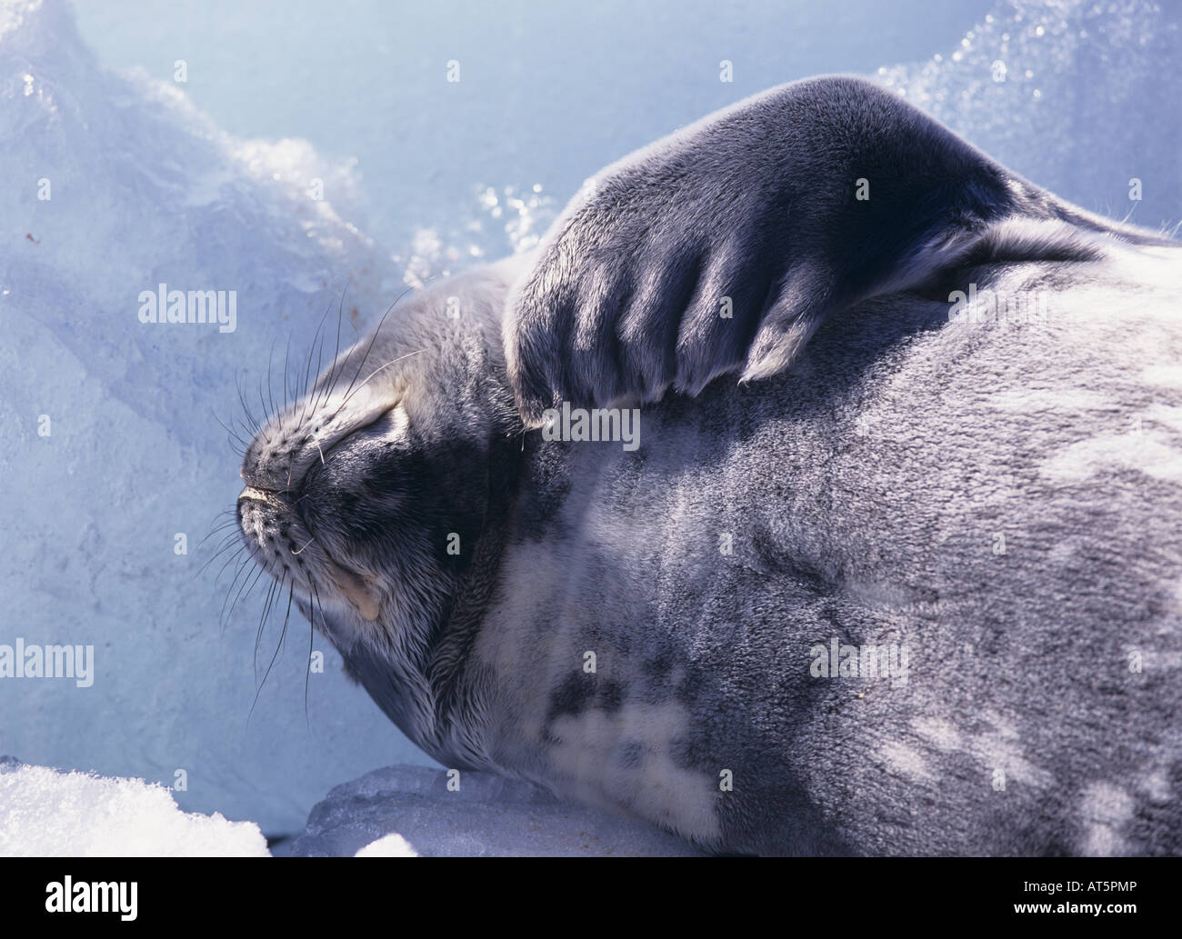 zoology / animals, mammal / mammalian, seals, , Additional-Rights-Clearance-Info-Not-Available - Stock Image
