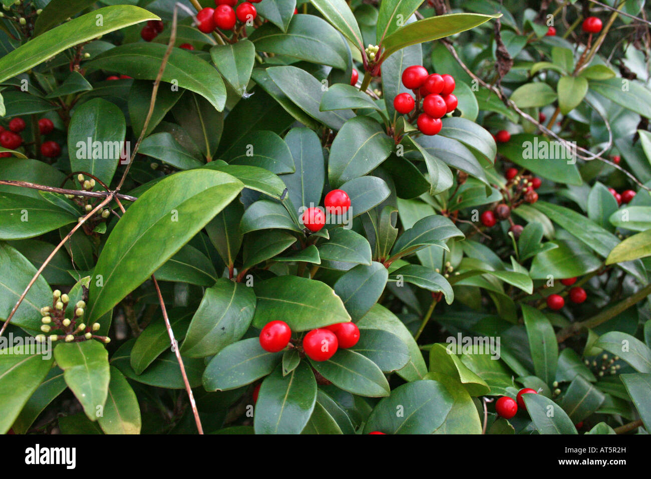 Red Berries Amongst Green Leaves In A Bush Stock Photo 16211464