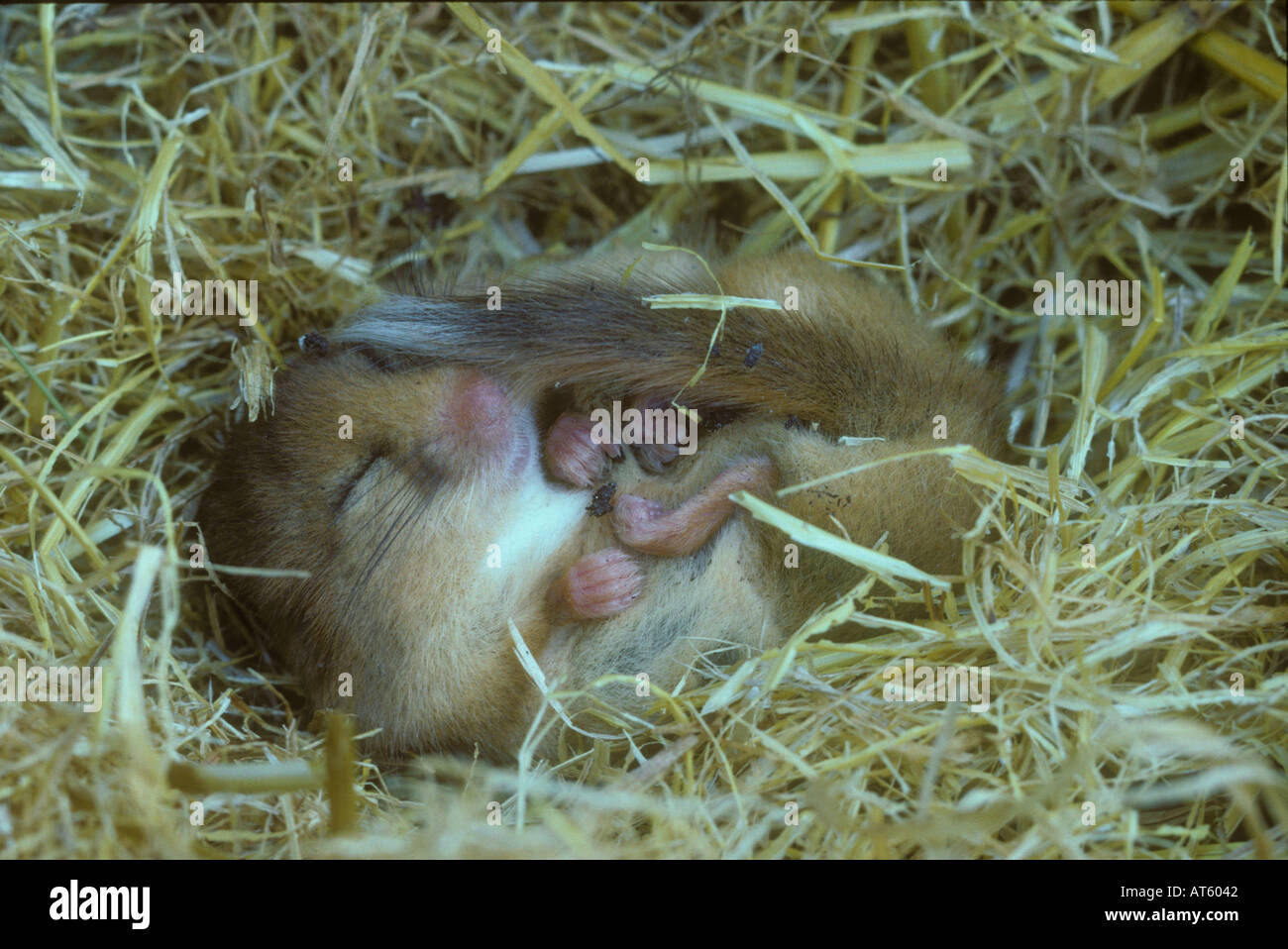 Dormouse hibernating in a stack of straw - Stock Image