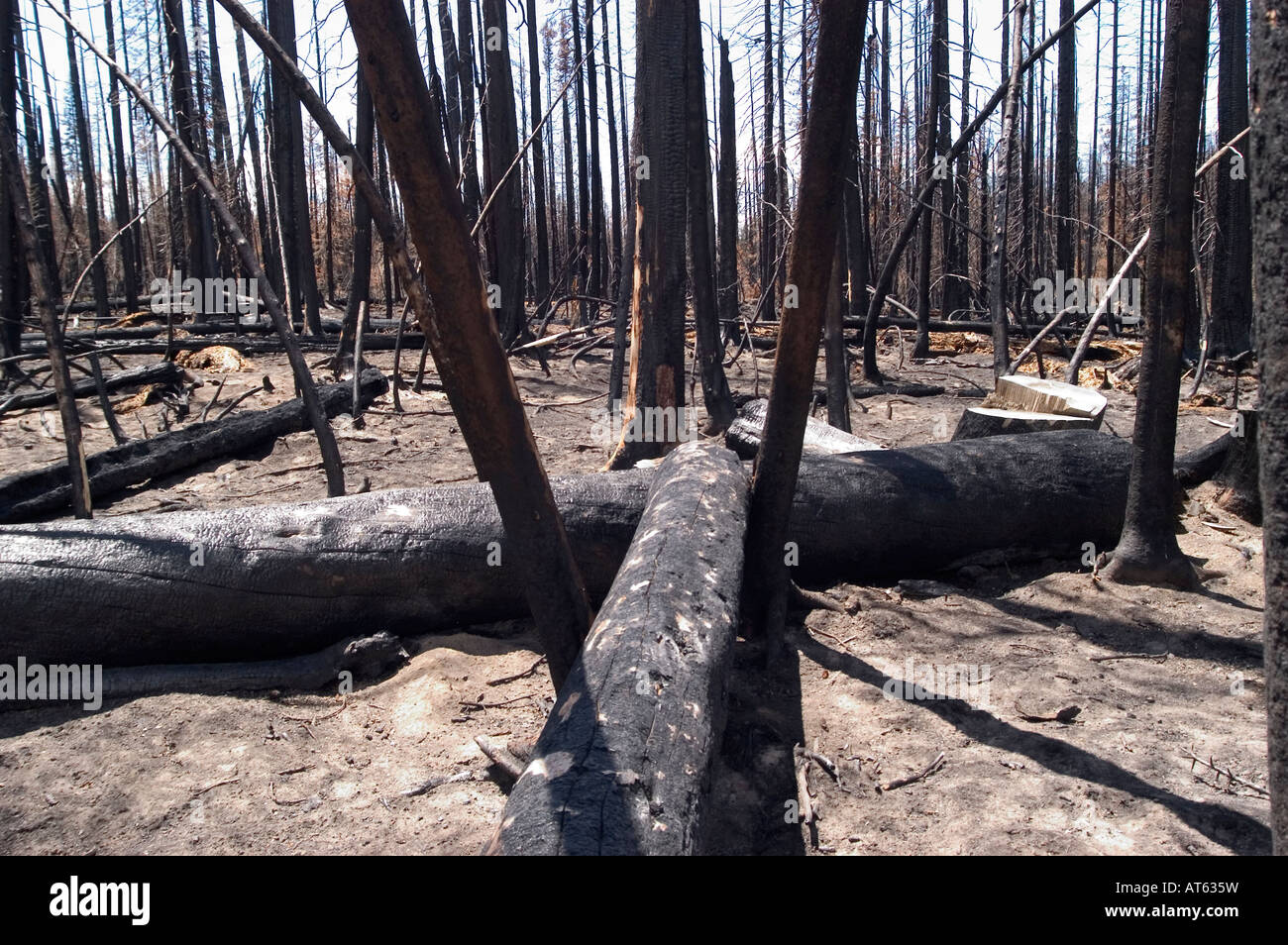 Burned trees will eventually recover from the 2003 East Fire that occurred in Yellowstone National Park, WY. - Stock Image
