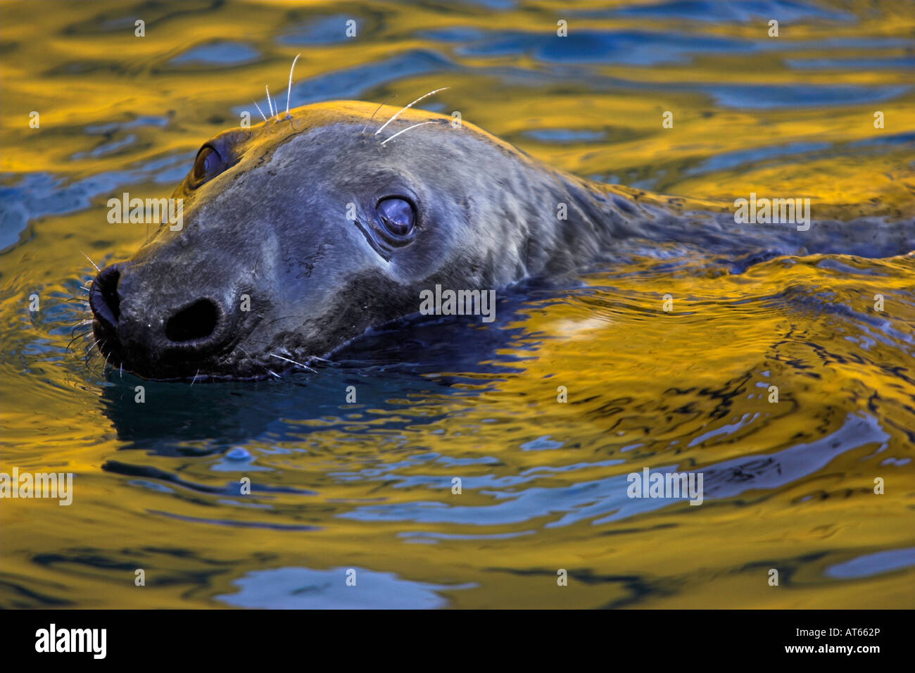 grey seal in Lerwick harbour Stock Photo