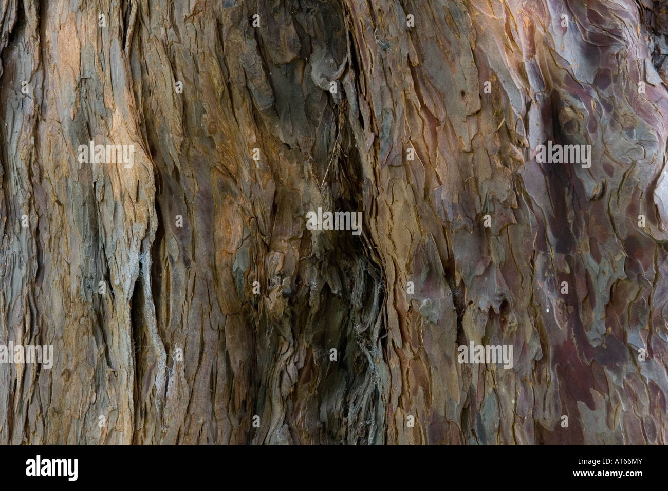 Bark on the trunk of one of the Overton Yew Trees, one of the Sevon Wonders of Wales - Stock Image