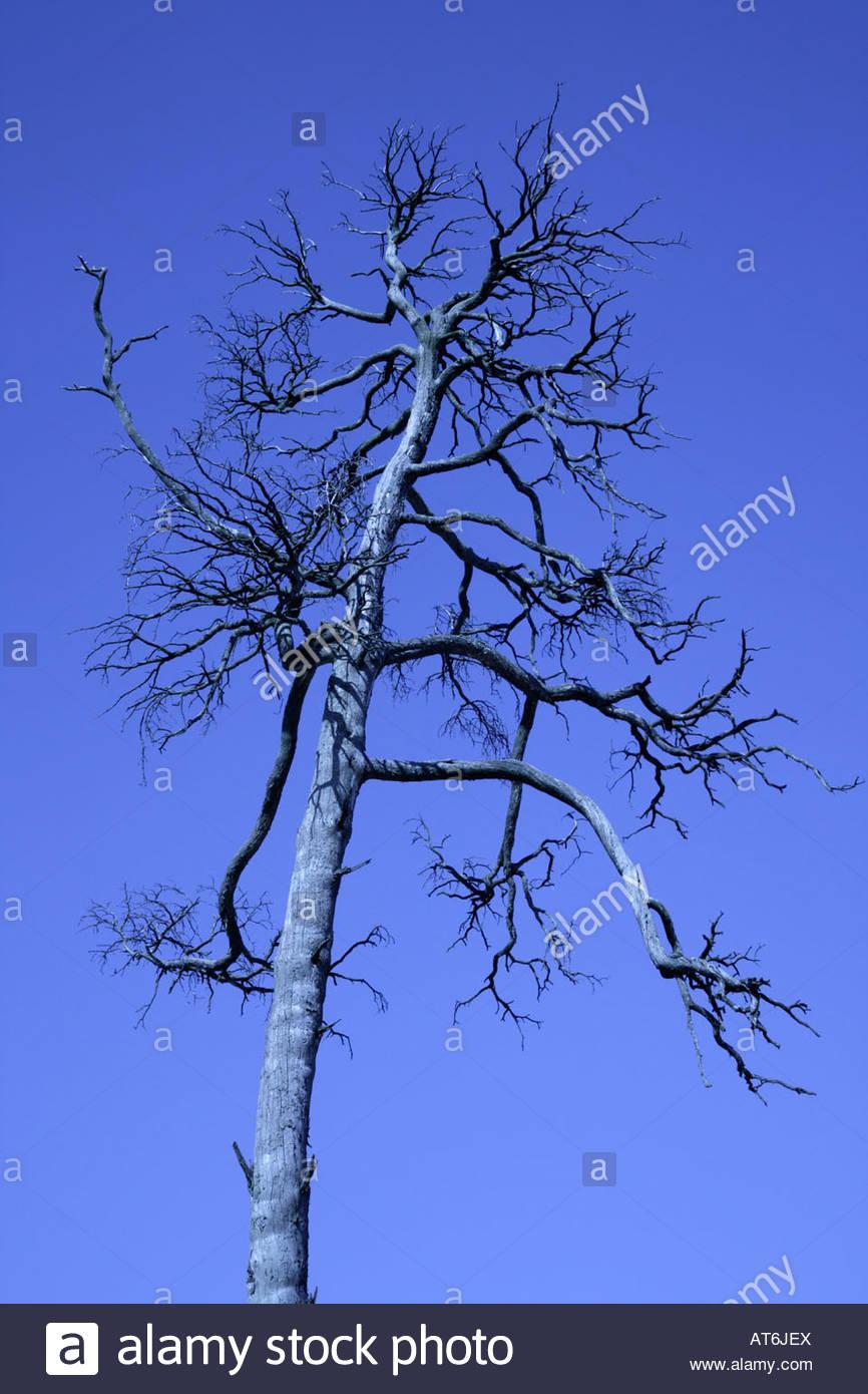 Germany, Bavaria, Dead tree - Stock Image
