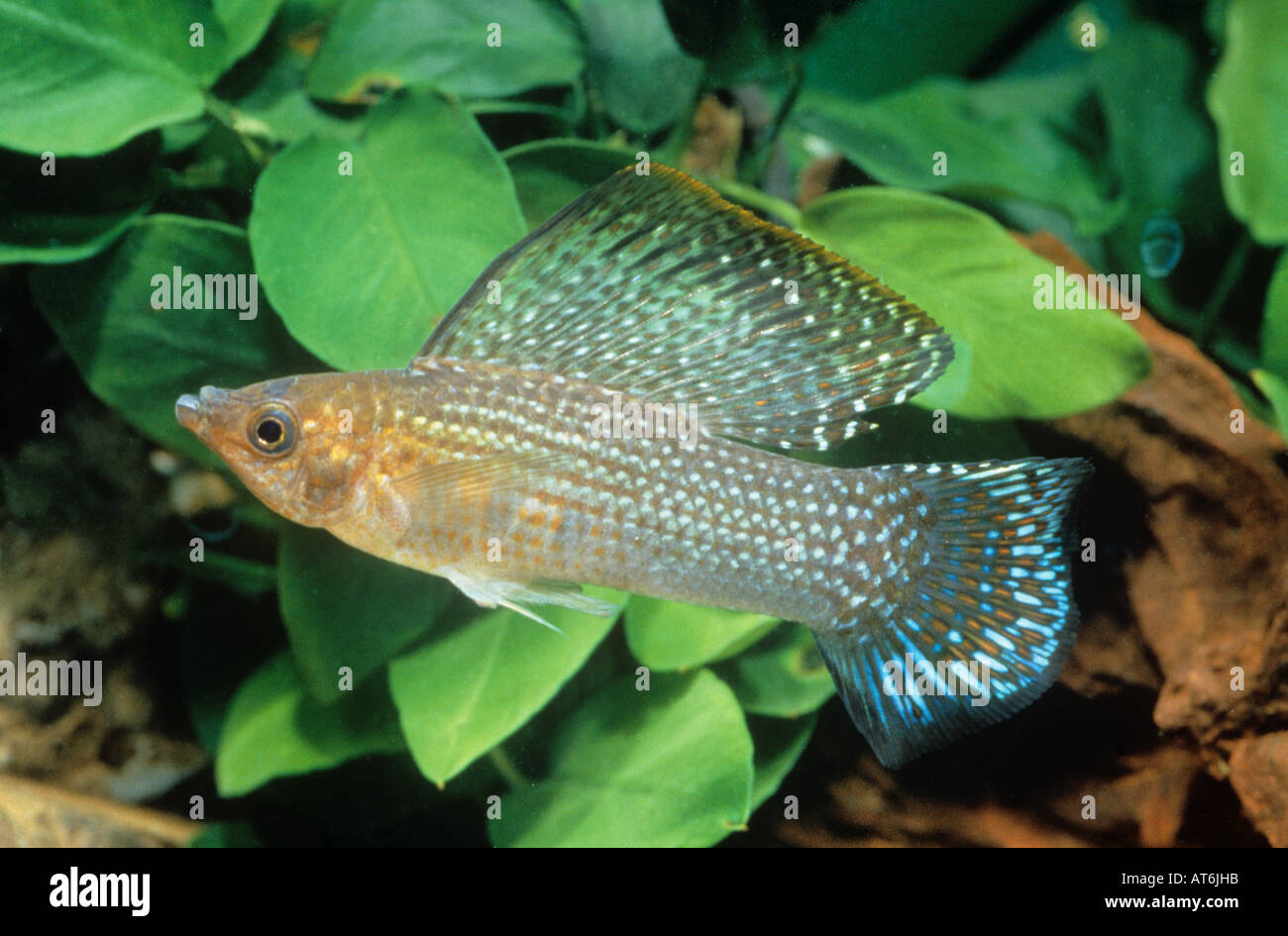 Yucatan Molly (Poecilia velifera) Stock Photo
