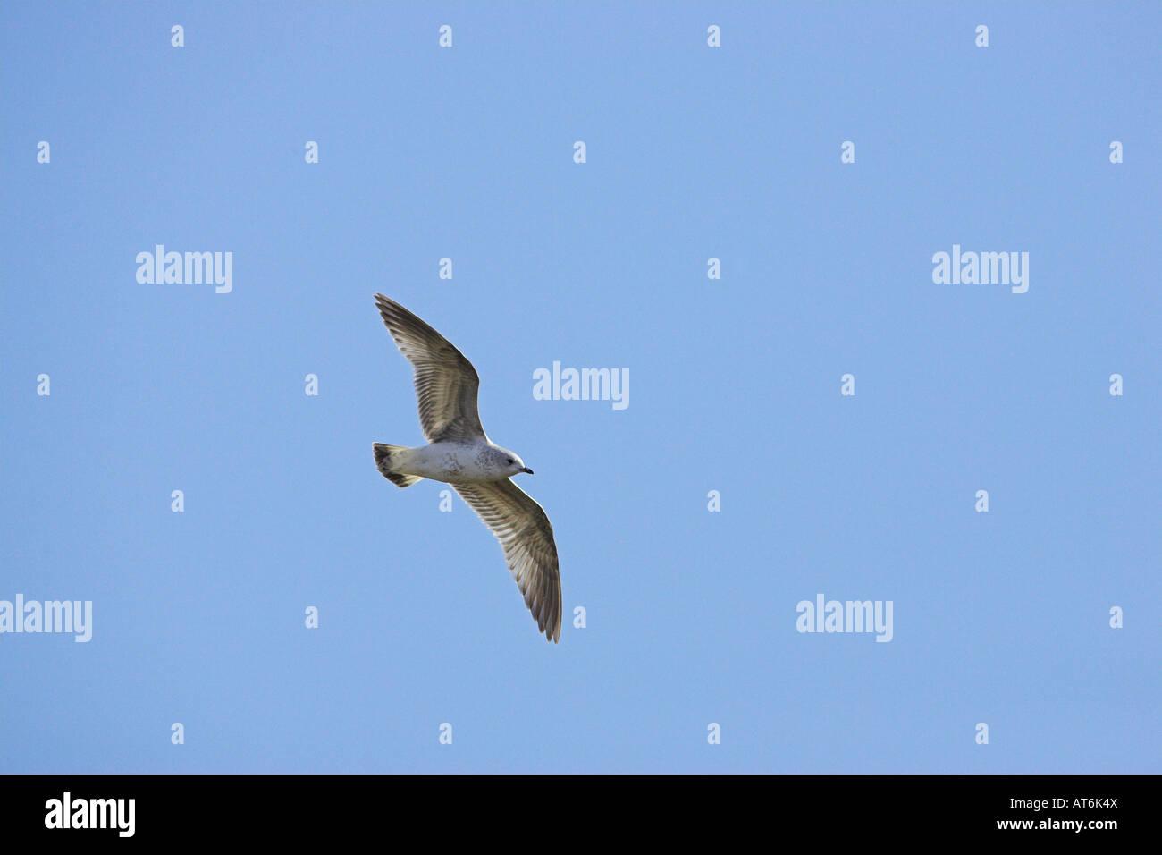 Common gull Larus canus juvenile in winter plumage in flight Islay Scotland Stock Photo