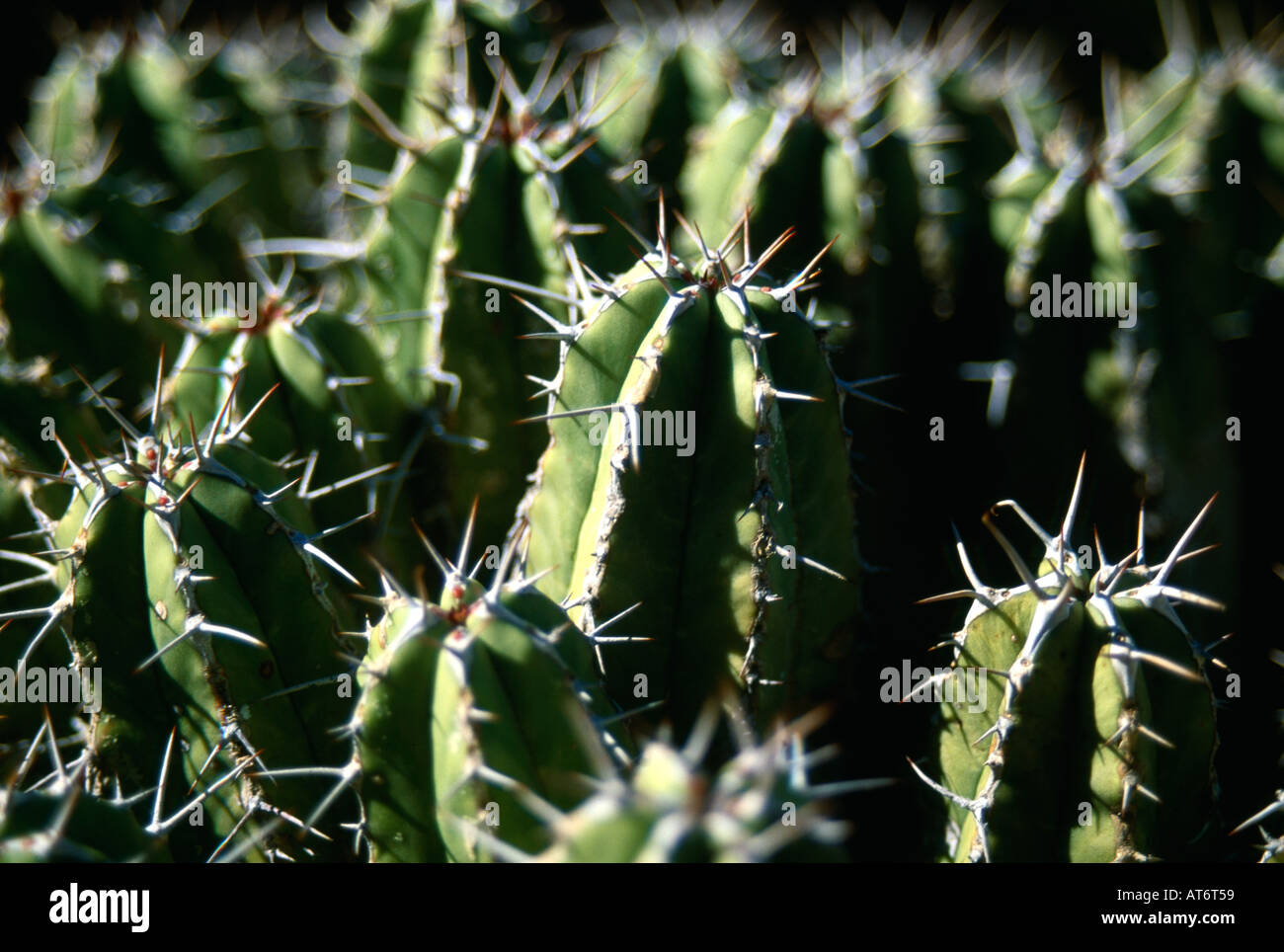 MACRO CLOSE UP SHOT OF SPIKEY CACTI IN MOROCCO - Stock Image