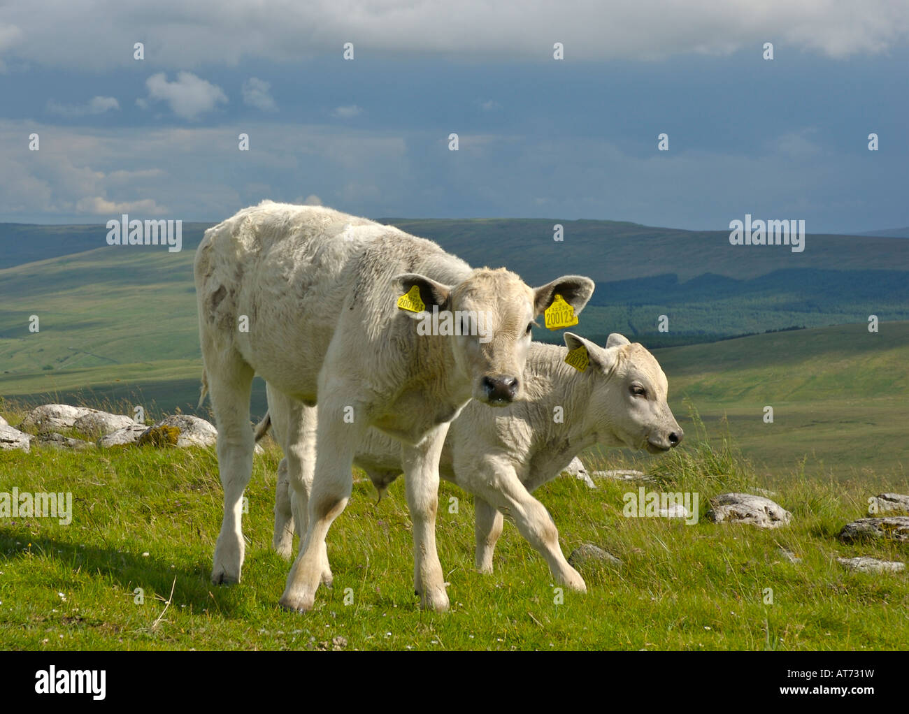 Calves on Cam Fell, above Wensleydale, on the Pennine Way, Yorkshire Dales National Park, UK - Stock Image