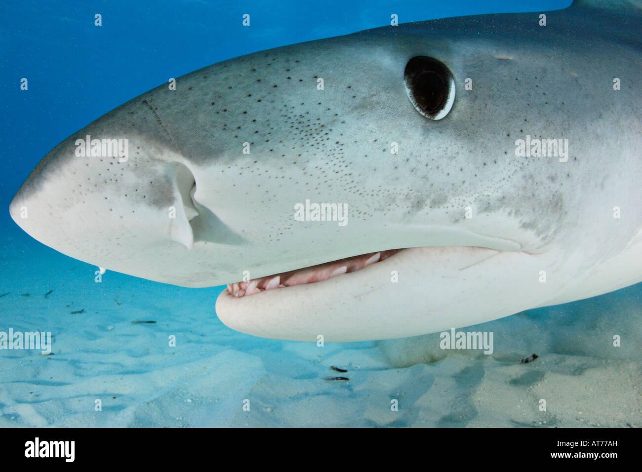 pa0856-D. Tiger Shark, Galeocerdo cuvier. Bahamas, Atlantic Ocean. Photo Copyright Brandon Cole - Stock Image