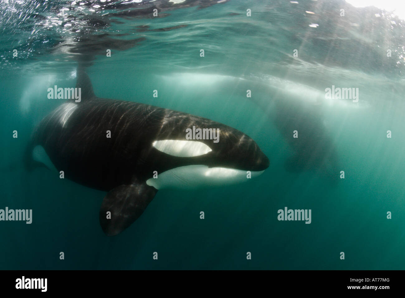 pt0004-D. Orca, Orcinus orca. Also called Killer Whale. Transient race. California, Pacific Ocean. Photo Copyright - Stock Image