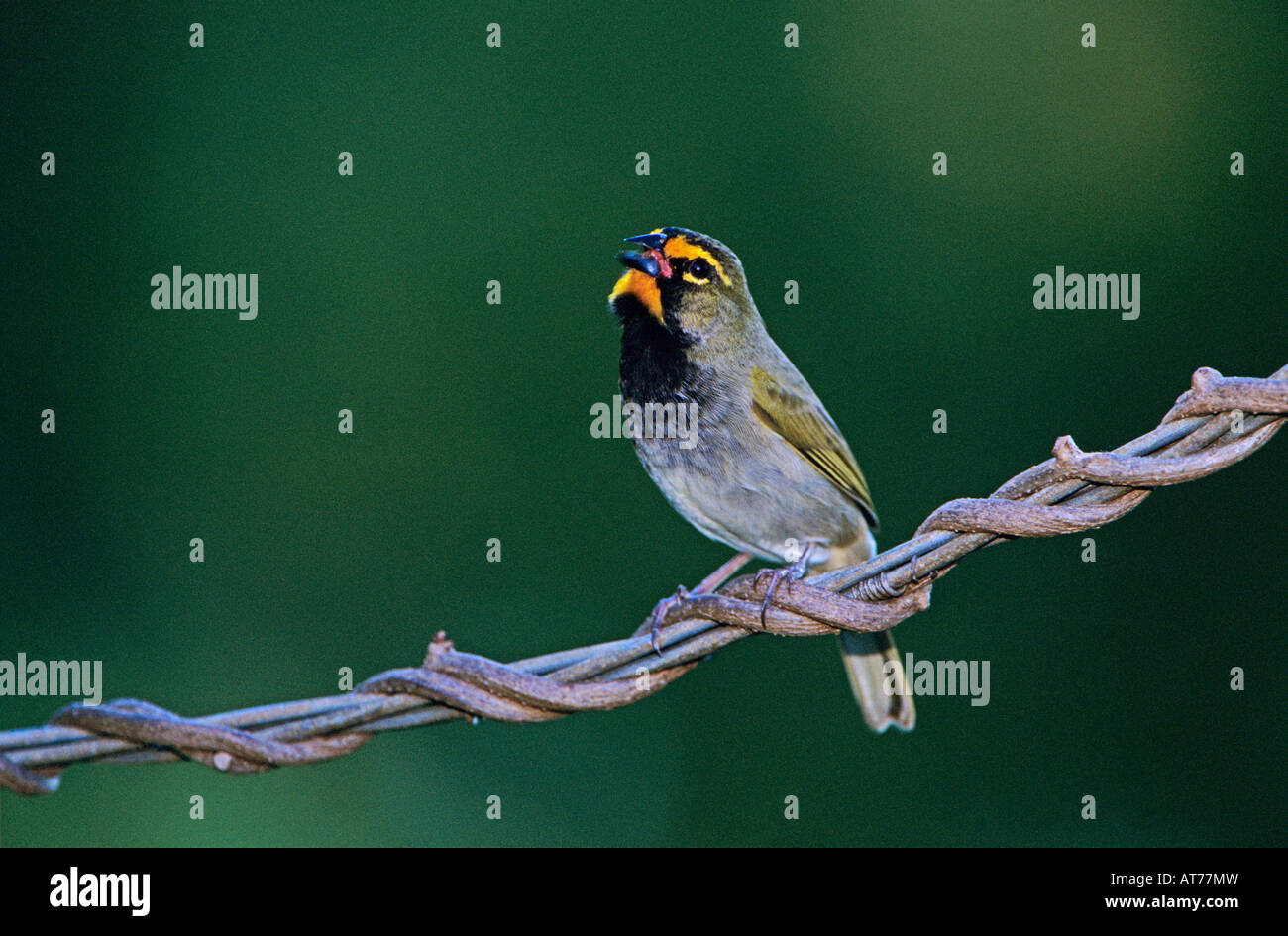 Yellow-faced Grassquit Tiaris olivacea male singing Rocklands Montego Bay Jamaica January 2005 - Stock Image