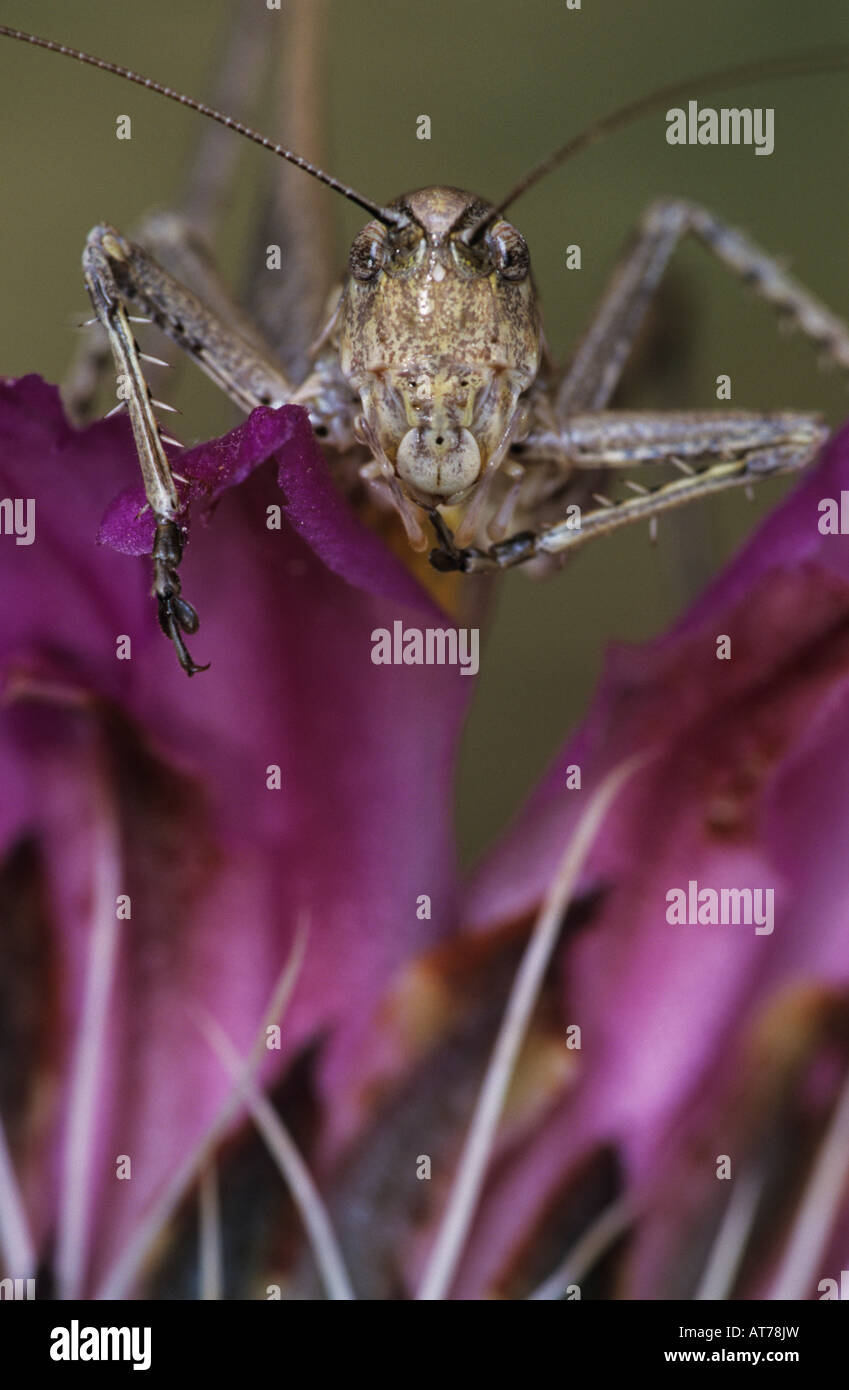Grasshopper Acrididae adult on Strawberry Hedgehog Echinocereus enneacanthus blossom Starr County Rio Grande Valley - Stock Image