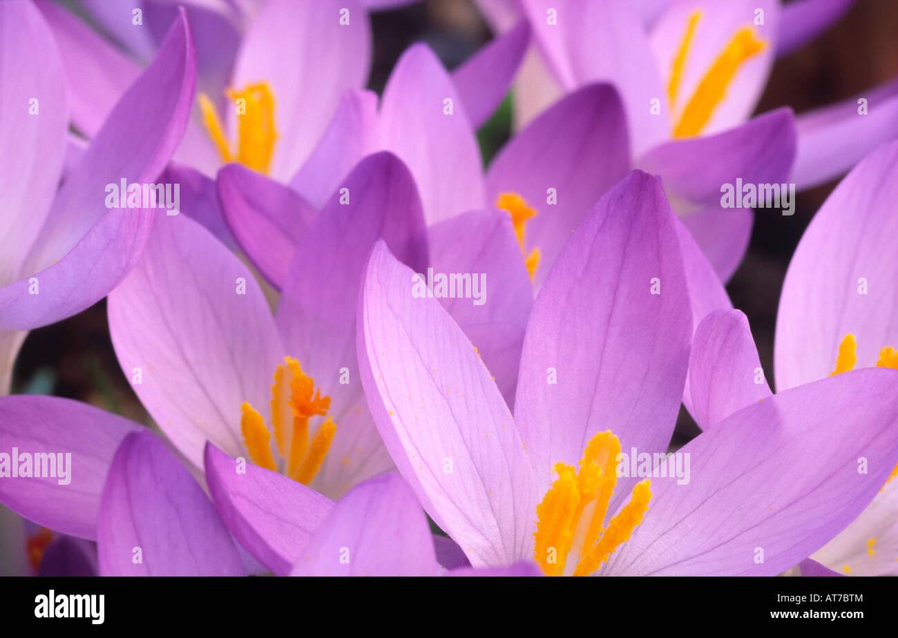 Crocus Spring Flowers Crocuses C Tommasinianus Whitewell Purple