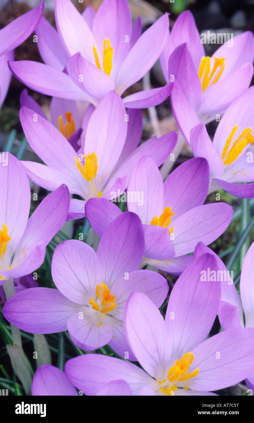 Crocus spring flowers Crocuses C tommasinianus Whitewell Purple early spring flowering dwarf bulbous plants UK - Stock Image