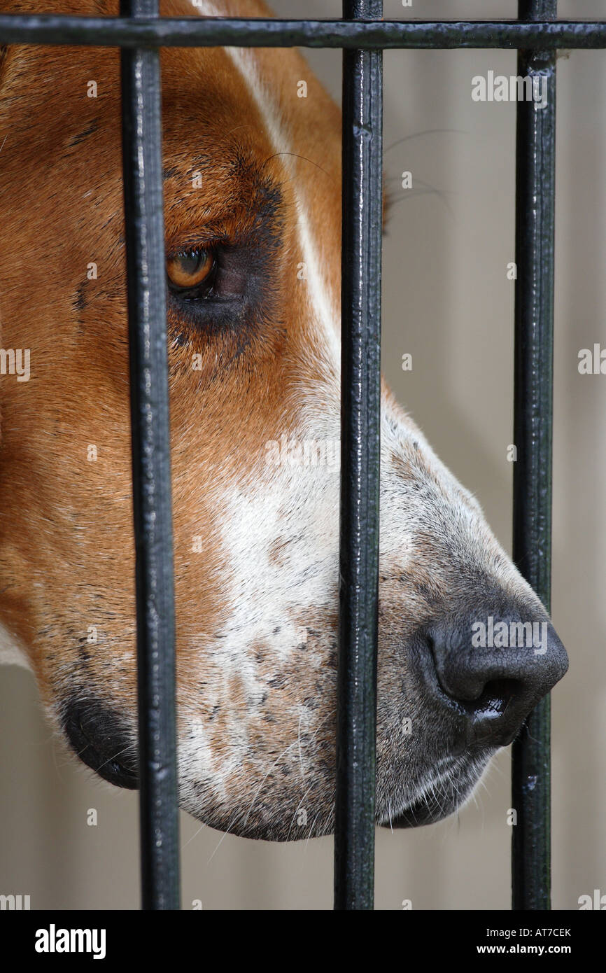 Fox Hound - Stock Image