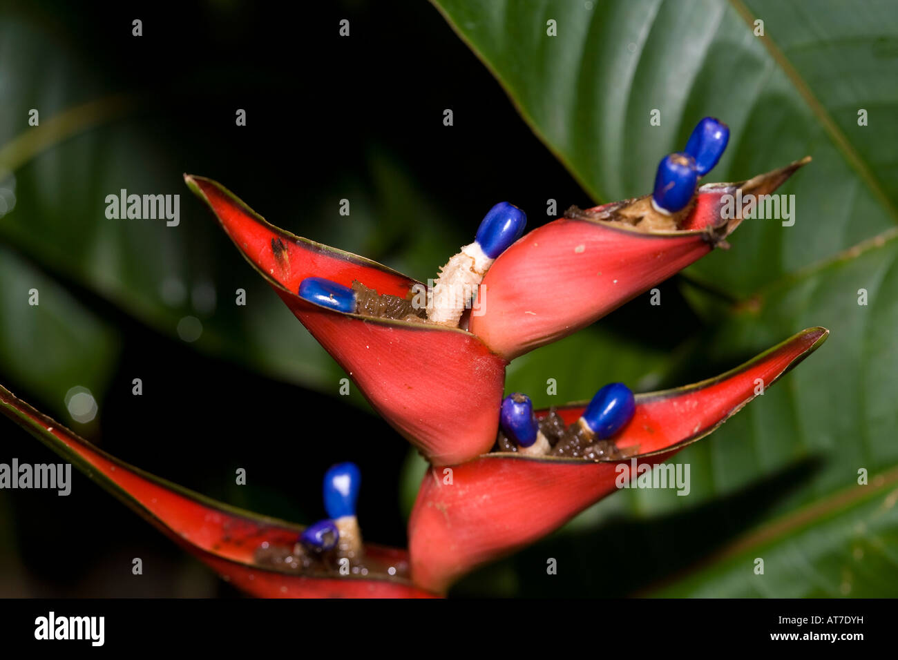 Lobster-claw, Wild Plantain (Heliconia stricta) - Stock Image