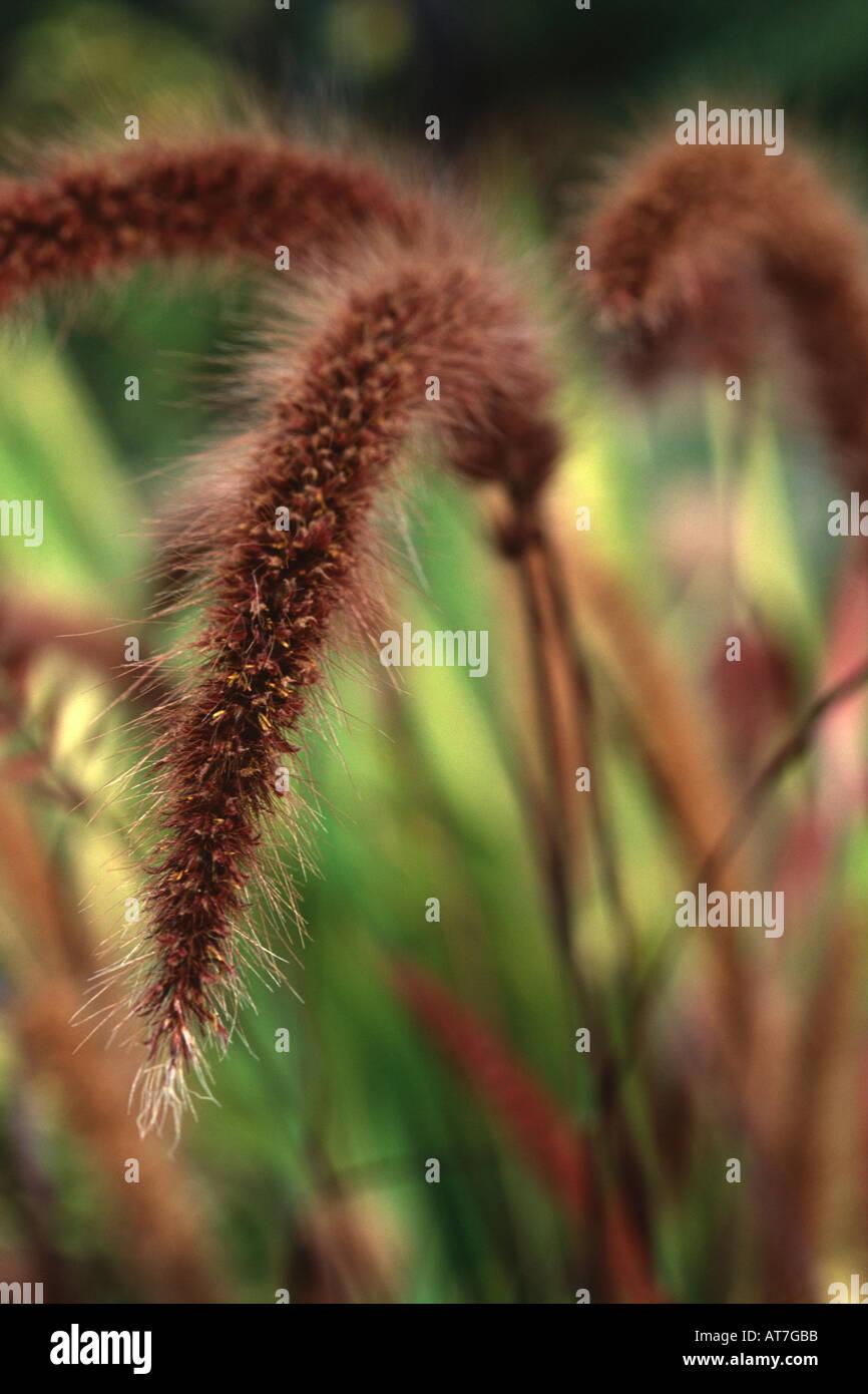 Fountain Grass Pennisetum setaceum Rubrum Close up of seed head Stock Photo