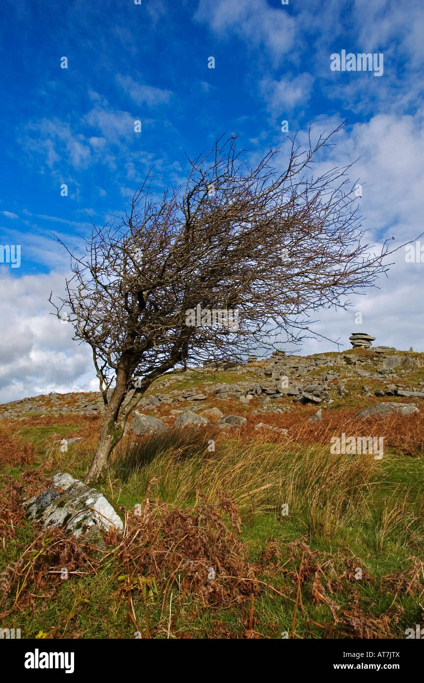 a small leafless hawthorn tree on bodmin moor,cornwall - Stock Image
