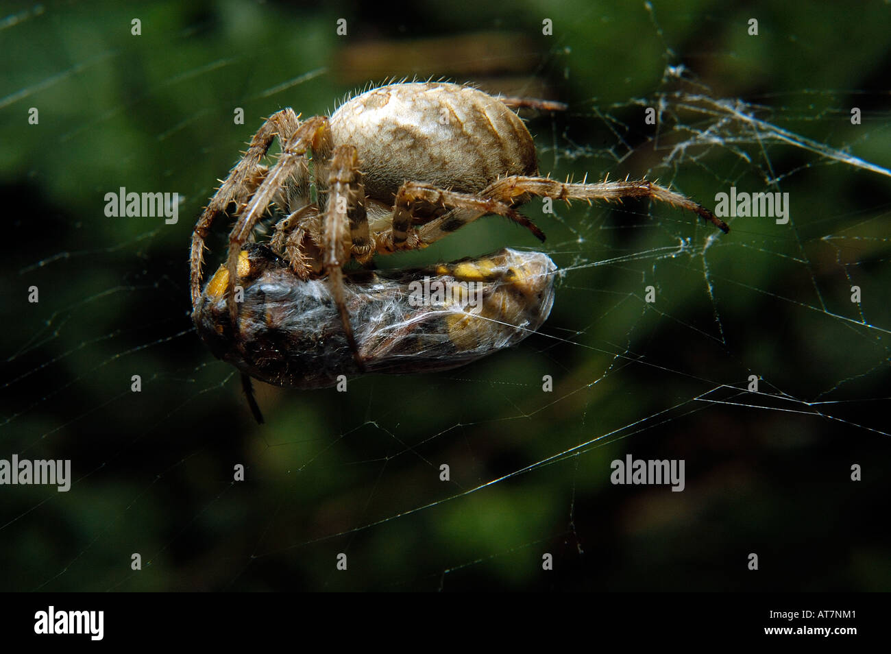 The European garden spider, diadem spider, cross spider, or cross orbweaver (Araneus diadematus)  with captured Hornet - Stock Image