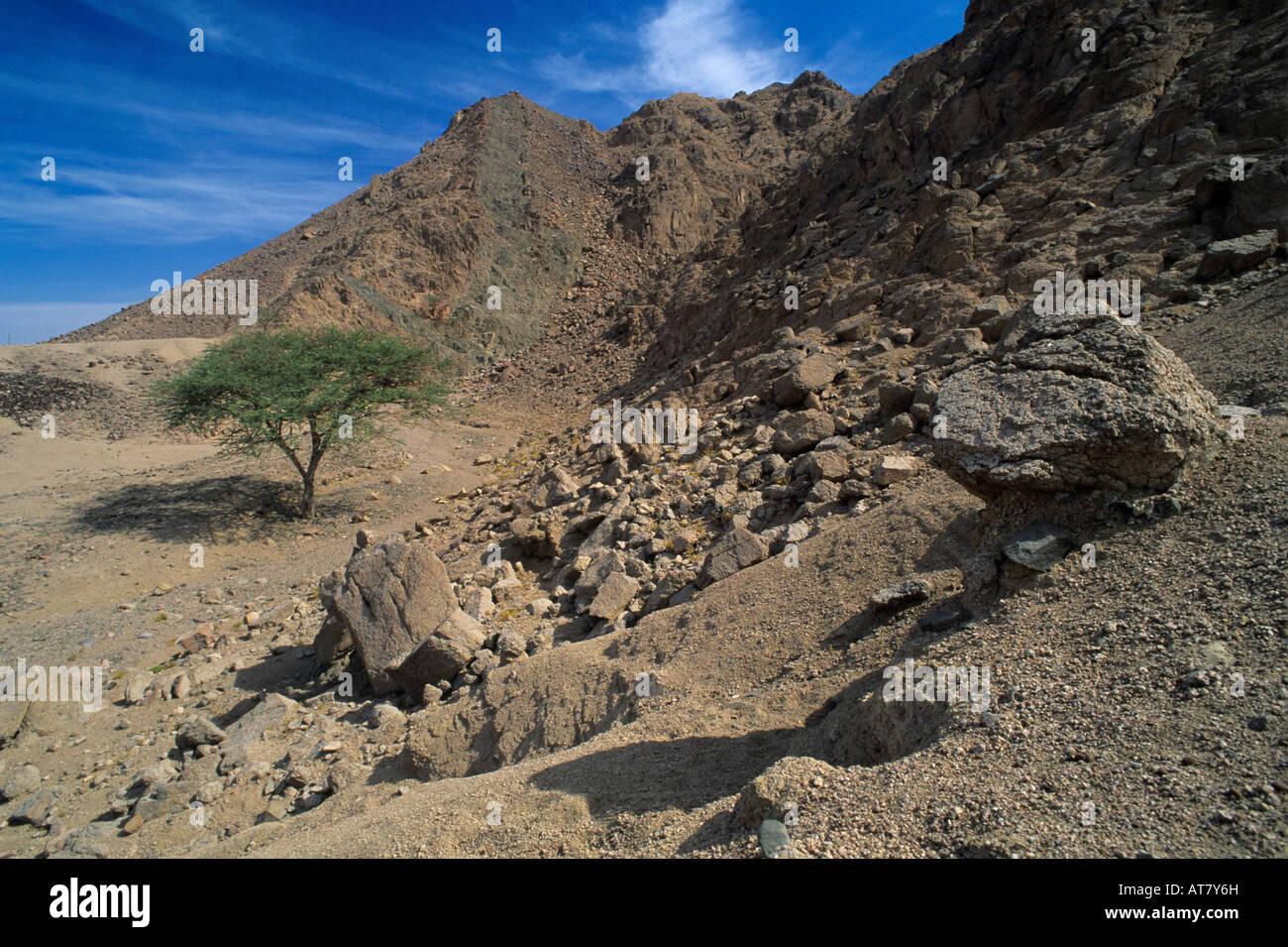 Tree in desert Nuweiba Egypt Oktober 1997 - Stock Image