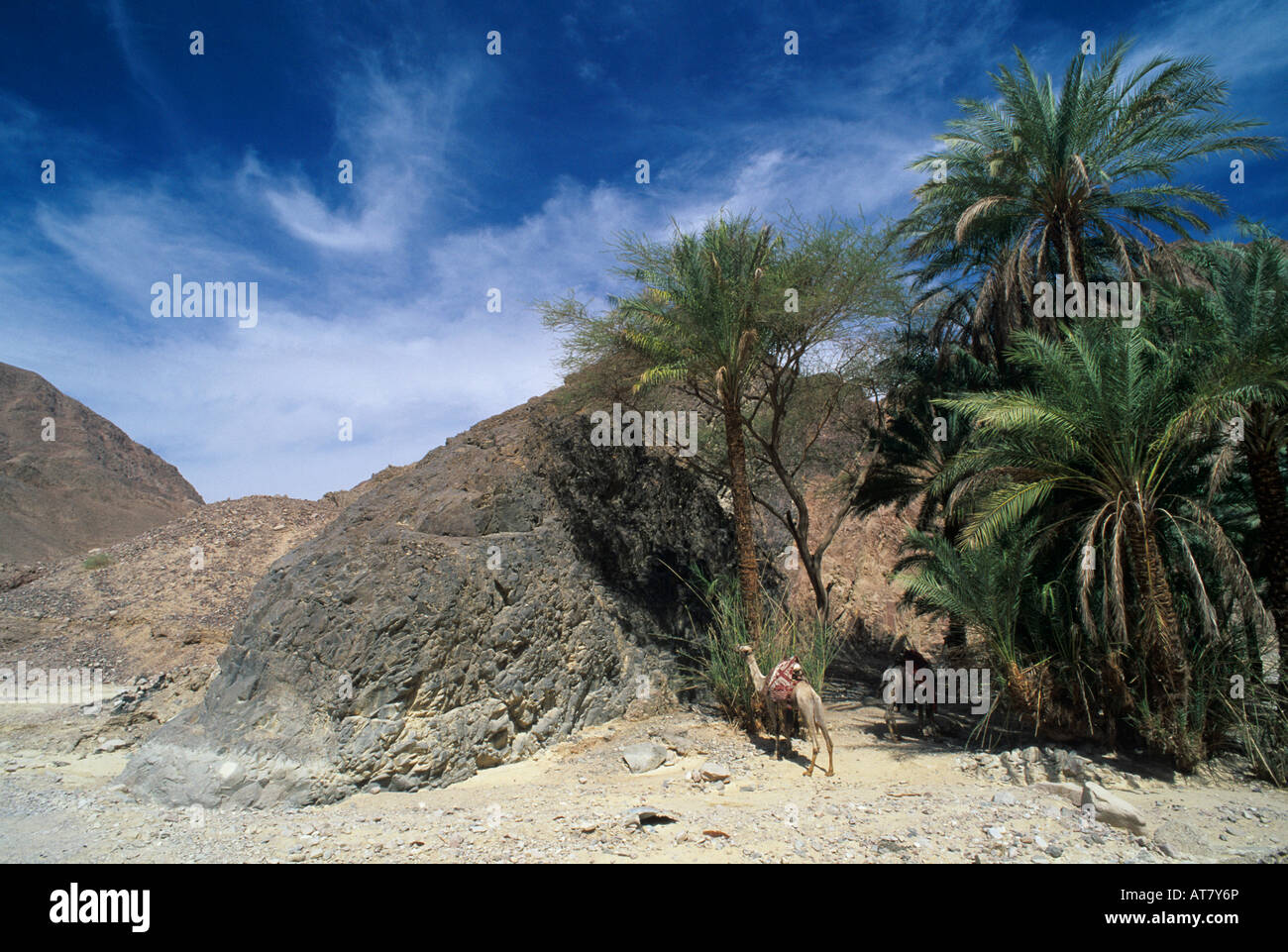 Palm Tree in desert oasis and camel Nuweiba Egypt Oktober 1997 - Stock Image