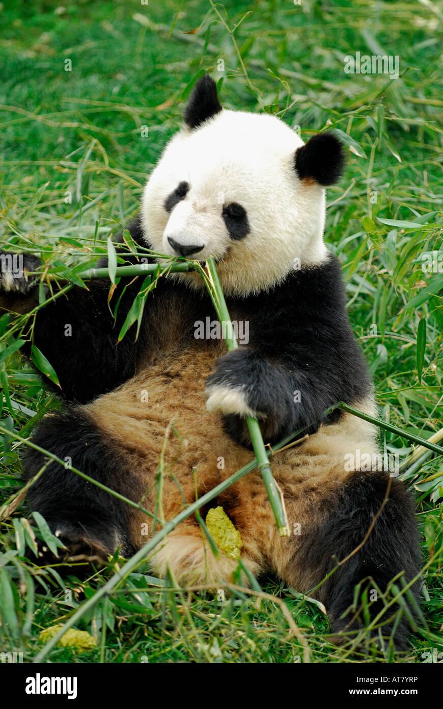 Giant Panda feeding on bamboo shoot at Chengdu Research Base of Giant Panda Breeding Sichuan China - Stock Image