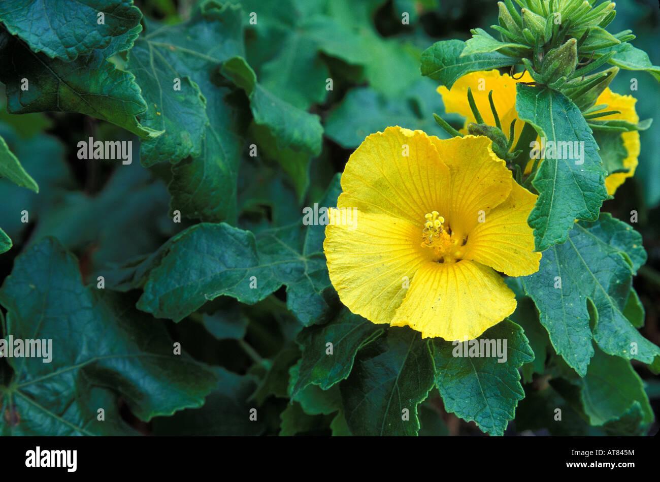 The hawaii state flower the yellow hibiscus brackenridgii stock the hawaii state flower the yellow hibiscus brackenridgii surrounded by green leaves izmirmasajfo