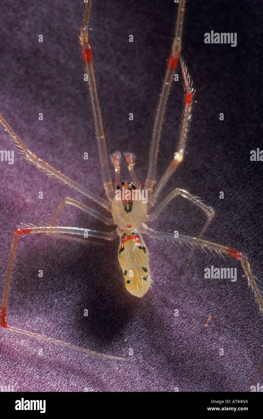 The Hawaiian happyface spider, (theridion grallator). Taken near the volcanoes NP Hawaii. - Stock Image