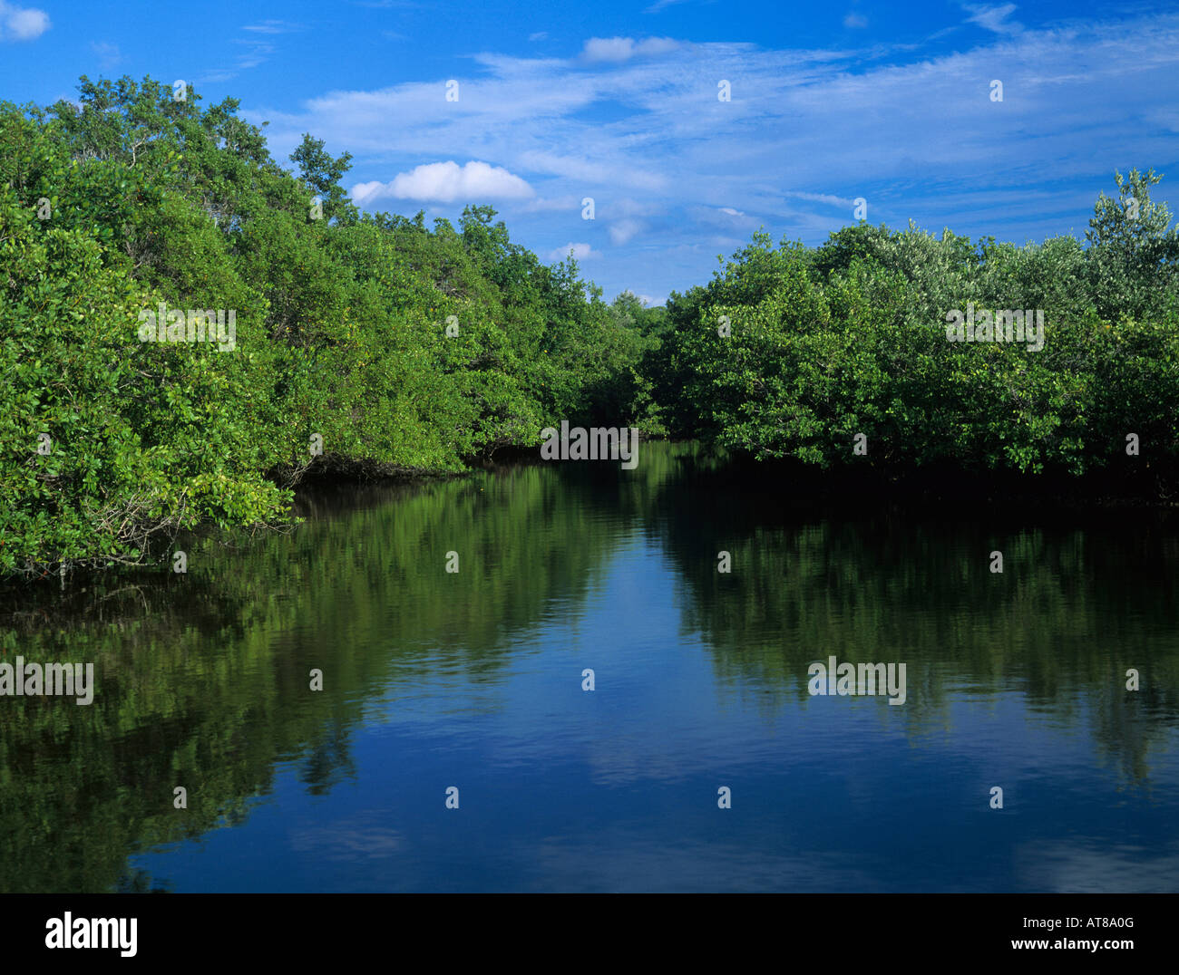 Mangrove forest at high tide J N Ding Darling National Wildlife Refuge Sanibel Island Florida December 1998 - Stock Image