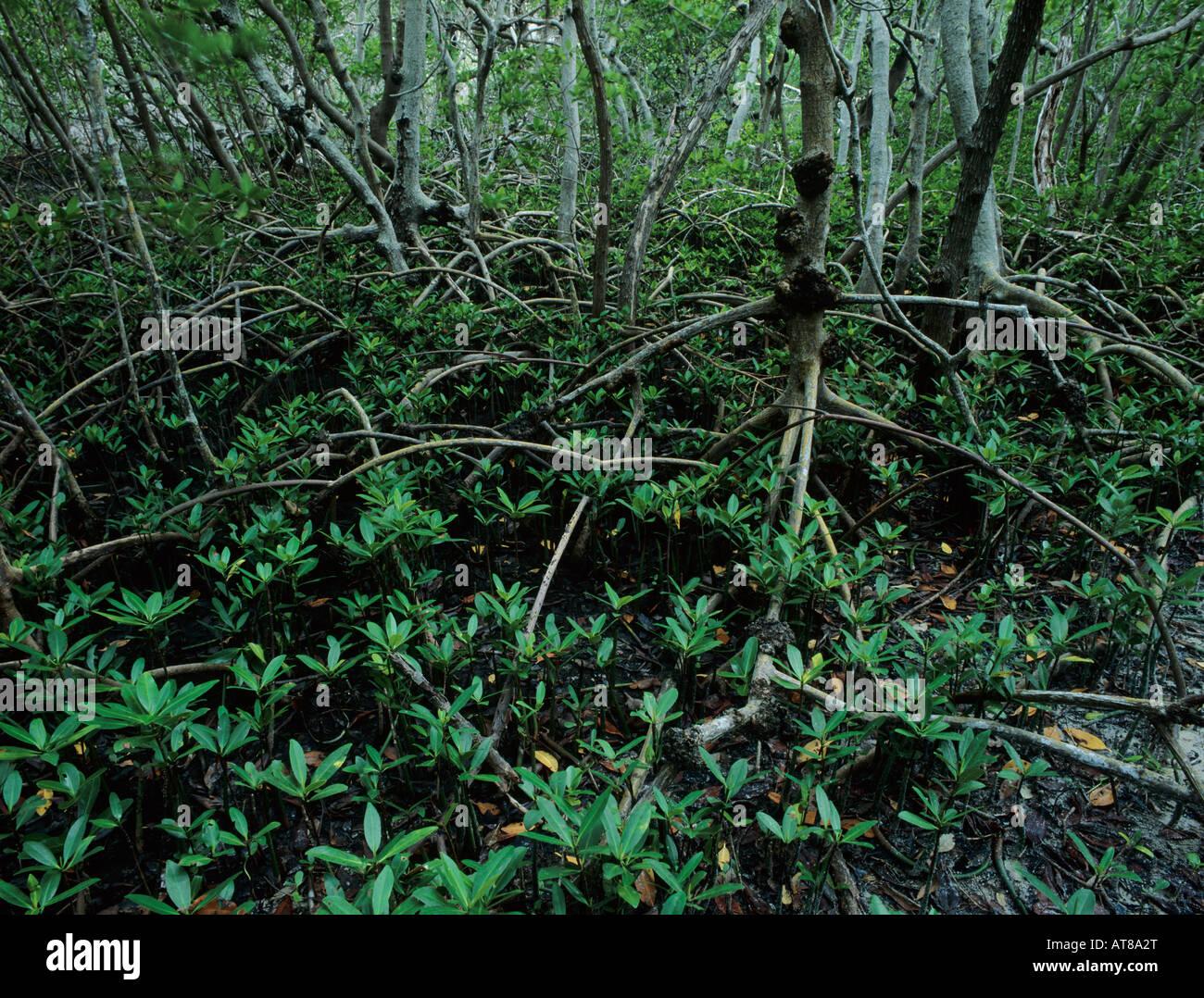 Black Mangroves Avicennia germinans forest J N Ding Darling National Wildlife Refuge Sanibel Island Florida - Stock Image
