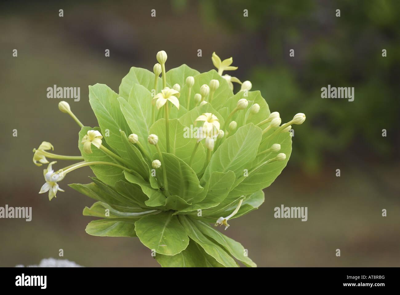 Rare Endangered Native Hawaiian Alula Plant Scientific Name