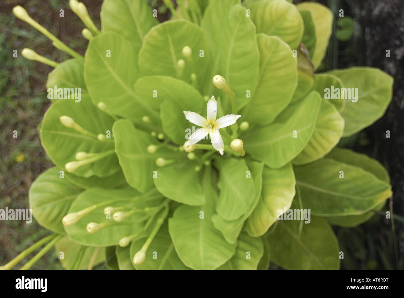 Alula Plant Stock Photos Alula Plant Stock Images Alamy