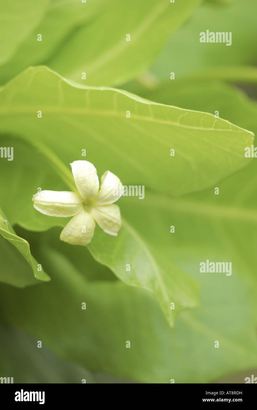 Rare endangered native hawaiian alula plant scientific name rare endangered native hawaiian alula plant scientific name brighamia insignis with delicate white star shaped flowers izmirmasajfo