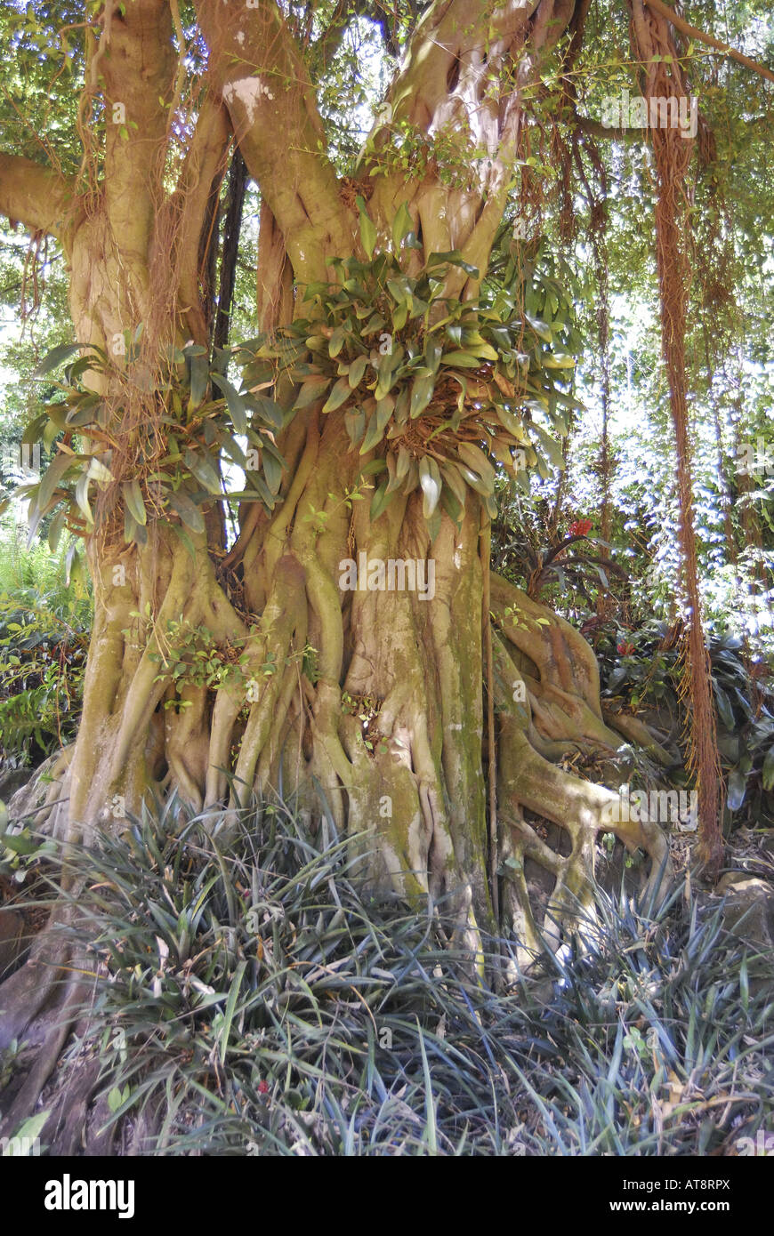 unique visible extensive roots of a banyan tree (ficus benghalensis ...
