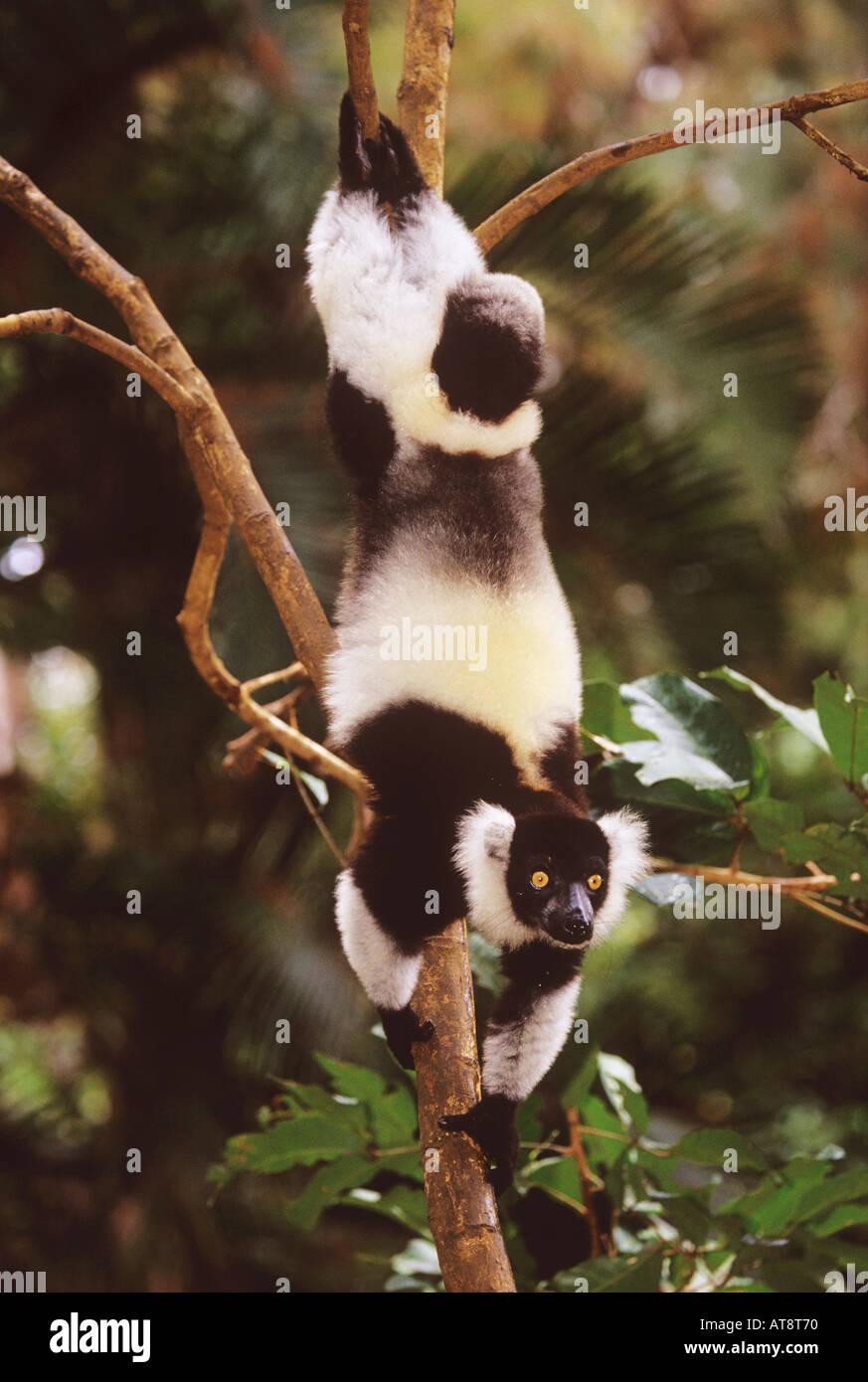 lemur variegata variegata black white ruffed lemur - Stock Image