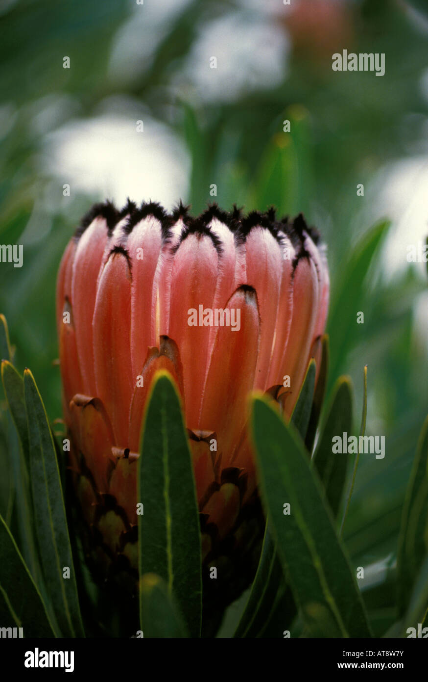 Pink mink protea flower stock photo 16240430 alamy pink mink protea flower mightylinksfo