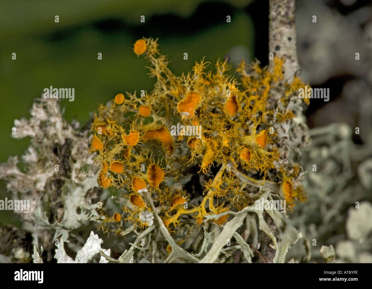 Extremely rare lichen recently rediscovered in UK On blackthorn. Teloschistes chrysophthalmus - Stock Image