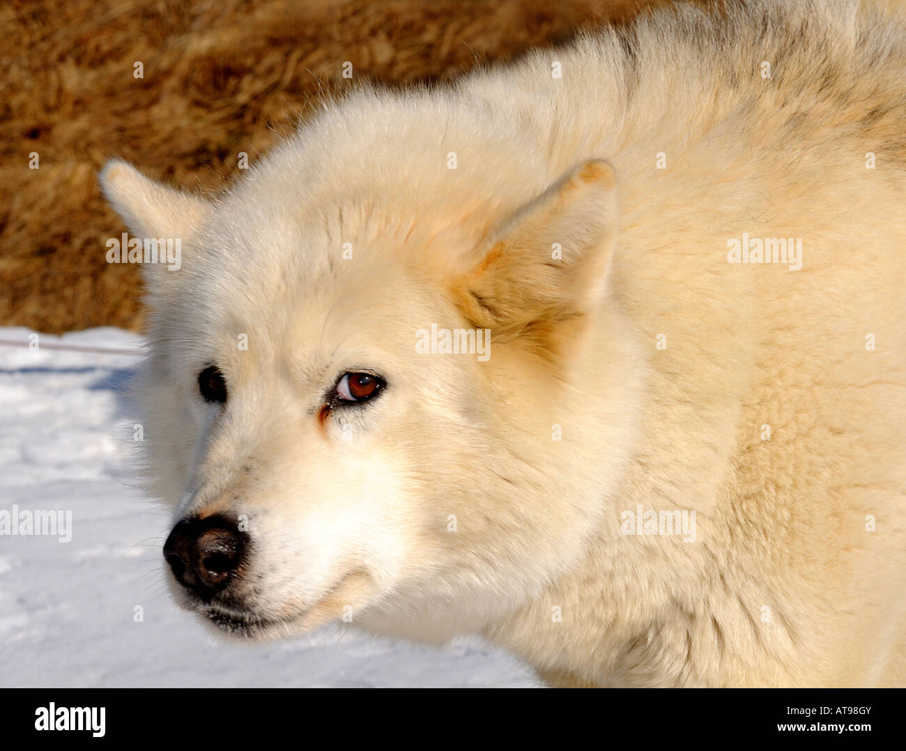 Greenland Dog with dense winter fur - Stock Image